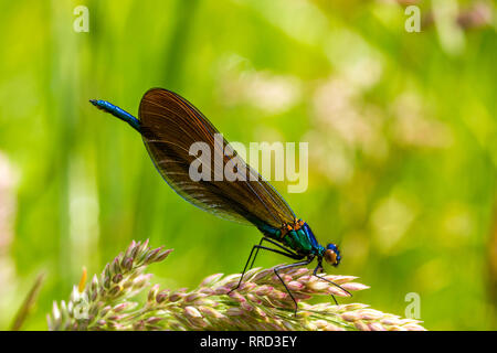 Detail of a Male Beautiful Damselfly, also Known as Demoiselle Agrion (Calopteryx virgo) Resting on a GrassFlower Beside the River Torridge. - Stock Photo