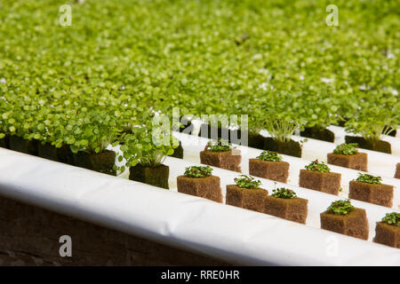 Watercress Baby Plants in Hydroponic culture with Phenolic Sponge and 2 different sizes Stock Photo