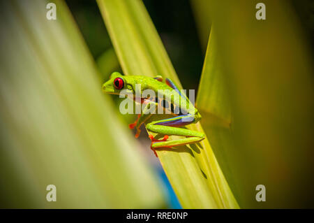 A red eyed tree frog (Agalychnis callidryas) in hiding between banana leaves inside Tortuguero national park in Costa Rica, Central America. - Stock Photo