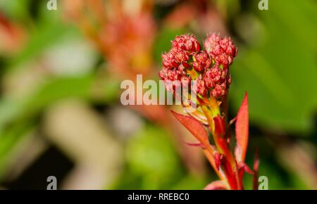 Photinia × fraseri 'Red Robin' Bright red new spring foliage - Stock Photo