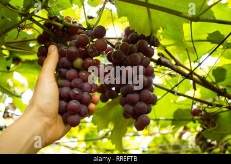 Grape Harvest - Man Hand collecting rose grapes in a Vineyard - Stock Photo