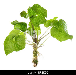 Wasabi Plant with Leaves and Root on white Background - Stock Photo