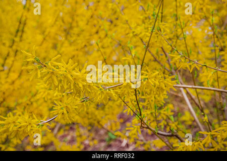 Forsythia bush ornamental deciduous shrub of garden origin. Forsythia flowers grow in front of him with green grass and blue sky. - Stock Photo