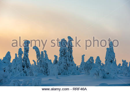 Spruce trees covered in heavy frost and snow in Riisitunturi National Park, Kuusamo, Finland - Stock Photo