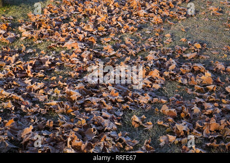 Frost covered Acer - Maple tree leaves on a grass Lawn in early autumn - Stock Photo