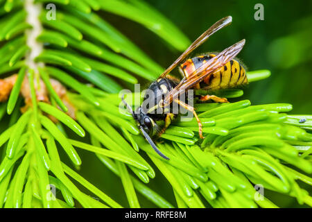 Yellow Jacket Wasp Insect on Fir Tree - Stock Photo