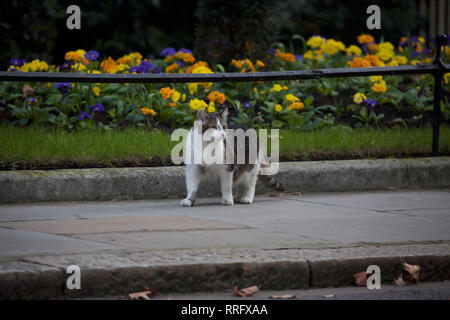 London, UK. 26th Feb, 2019. Larry, the Downing Street cat walks up the road past colourful flower beds as Ministers arrive for their weekly cabinet meeting at 10 Downing Street in London. Credit: Keith Larby/Alamy Live News - Stock Photo