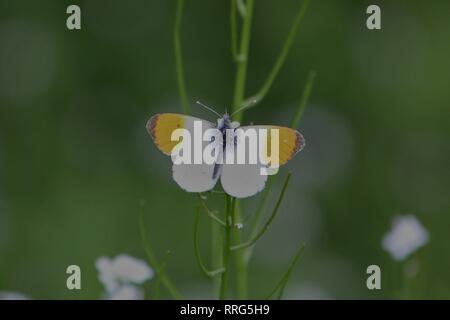 Orange Tip (Anthocharis cardamines) on a meadow near Waltrop, Germany - Stock Photo