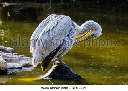 Beautiful Dalmatian Pelican cleaning its feathers - Stock Photo