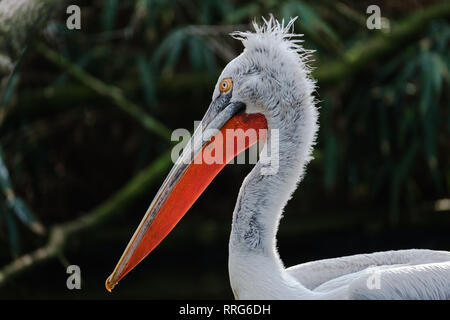 A portrait of a Dalmatian Pelican - Stock Photo