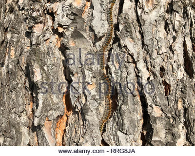 pine processionary marching in procession on a tree trunk (Thaumetopoea pityocampa) - Stock Photo