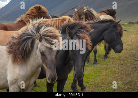 Herd of young Icelandic horses near Hofn, south east Iceland. - Stock Photo