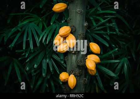 Cacao tree in the tropical greenhouse Stock Photo