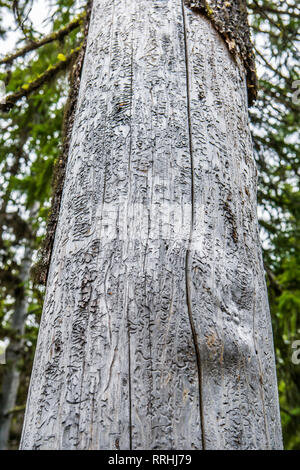 A tree trunk in the central Cascade mountains showing damage from bark beetles. - Stock Photo