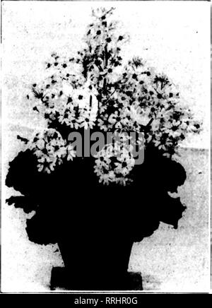 . Florists' review [microform]. Floriculture. Opale. Quite distinct in color. A lively pale rose with attractive pale-green, vigorous foliage. 5-inch pots, $30.00 per 100; 6-lnch pots, $50.00 per 100. Radiant. A reliable and popular carmine-rose. Souv. de Lieut. Chaure. Immense heads of bright rose-carmine, flowers on bold upright stems. SouT. de Mme. E. Chautard. Deservedly the most popular forc- ing variety. Early and free. Bright rose. Souv. de Mme. Victor Raoult. Very large lively rose. Vieux Chateau. Late, large, vigorous, fringed white, shading to pale-rose. A striking novelty. Otaksa. T - Stock Photo