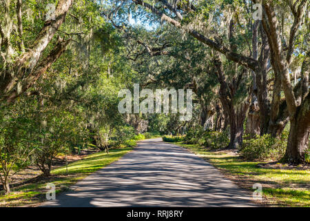 Road lined with live oak trees with spanish moss in South Carolina - Stock Photo