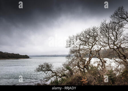 A woodland of Sessile Oak trees Quercus petraea on the banks of the River Fal in Cornwall. - Stock Photo