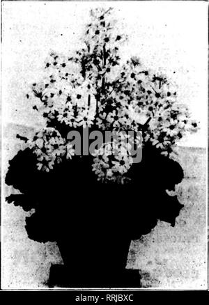 . Florists' review [microform]. Floriculture. Opale. Quite distinct In color. A lively pale rose with attractive pale-green, vigorous foliage. 6-inch pots, S50.00 per 100. Badiant. A reliable and popular carmine-rose. Souv. de Lieut. Chaure. Immense heads of bright rose-carmine, flowers on bold upright stems. Souv. de Mme. £. Chautard. Deservedly the most popular forc- ing variety. Early and free. Bright rose. Souv. de Mme. Victor Raoult. Very large lively rose. Vieux Chateau. Late, large, vigorous, fringed white, shading to pale-rose. A striking novelty. Otaksa. The old reliable form still fa - Stock Photo