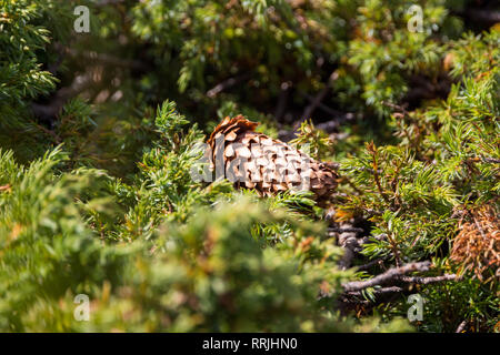 Close up of spruce cone, centered with shallow depth of field, fallen in a meadow, surrounded by green pine branches, covered in the afternoon light. - Stock Photo