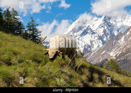 Ram (male sheep) eating grass on a green hill above Zermatt, Switzerland, on a bright Summer day in June, with the Swiss Alps mountains covered in sno - Stock Photo