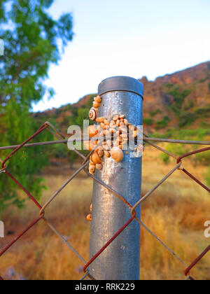 bunch of Snails on metal fence post absorbing night moisture in Andalusian Countryside - Stock Photo