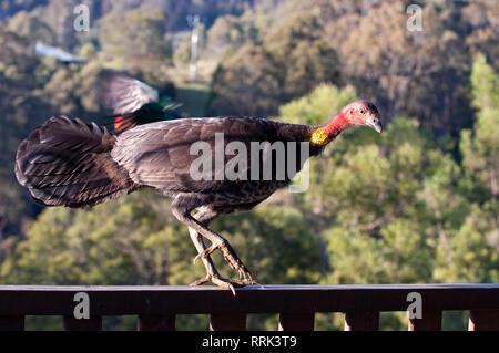 Brush turkey - Stock Photo