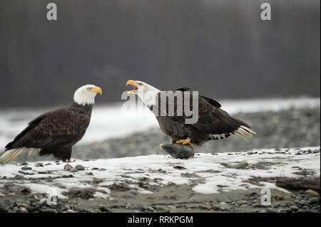 Mature bald eagle holding a chum salmon head and voicing a warning to a second eagle - Stock Photo