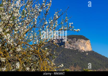 Blossoming almond trees in front of Alaró castle rock, Mallorca, Balearic Islands, Spain - Stock Photo