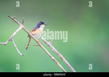 Ashy Prinia (Prinia socialis), adult in breeding plumage calling from branch. Keoladeo National Park. Bharatpur. Rajasthan. India. - Stock Photo