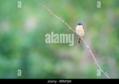 Ashy Prinia (Prinia socialis), adult in breeding plumage perched on branch. Keoladeo National Park. Bharatpur. Rajasthan. India. - Stock Photo