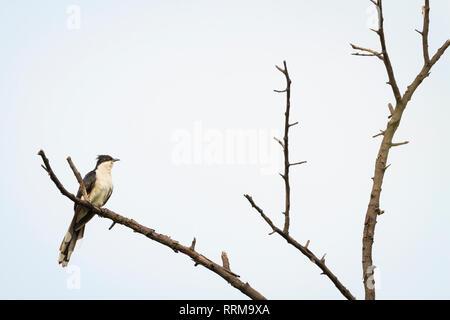 Jacobin Cuckoo (Clamator jacobinus) perched on tree. Keoladeo National Park. Bharatpur. Rajasthan. India. - Stock Photo