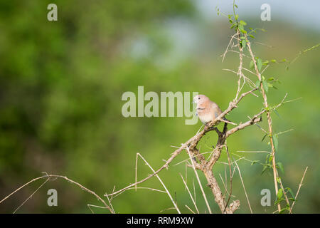 Laughing Dove (Spilopelia senegalensis) perched on branch. Keoladeo National Park. Bharatpur. Rajasthan. India. - Stock Photo