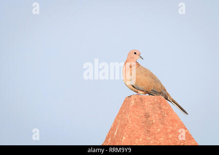 Laughing Dove (Spilopelia senegalensis) perched on a pole. Keoladeo National Park. Bharatpur. Rajasthan. India. - Stock Photo