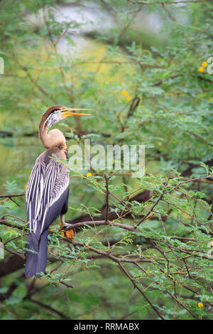 Oriental Darter (Anhinga melanogaster) perched on tree. Keoladeo National Park. Bharatpur. Rajasthan. India. - Stock Photo