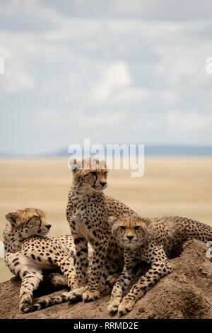 Five cheetah on a termite mound in Serengeti Tanzania Stock Photo