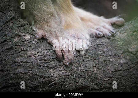 Hands of Rhesus Monkey (Macaca mulatta). Keoladeo National Park. Bharatpur. Rajasthan. India. - Stock Photo