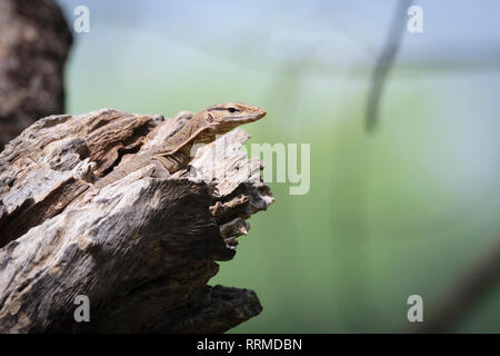 Bengal Monitor Lizard (Varanus bengalensis), juvenile on tree hole. Keoladeo National Park. Bharatpur. Rajasthan. India. - Stock Photo