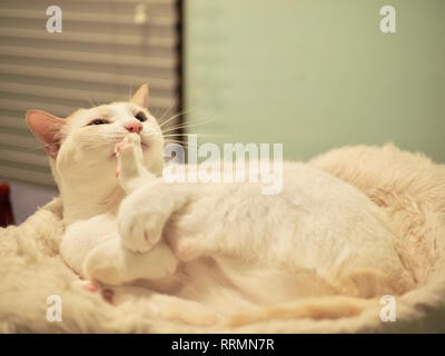 Mitzie the flame point Siamese on her favorite bed - Stock Photo