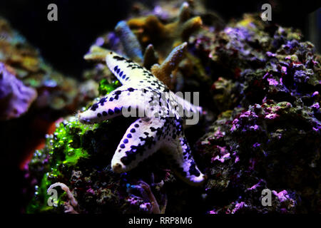 Cake american starfish - Anthenea aspera - Stock Photo