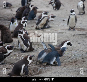African penguin family: mother feeds her two new born babies chickes. Cape town. South Africa. - Stock Photo