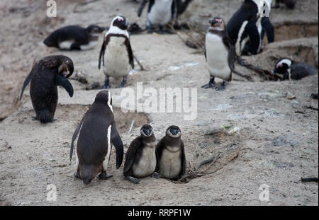 African penguin family: mother with two new born babies chickes. Cape town. South Africa. - Stock Photo