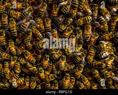 busy bee background in honeycomb working teamwork for honey - Stock Photo