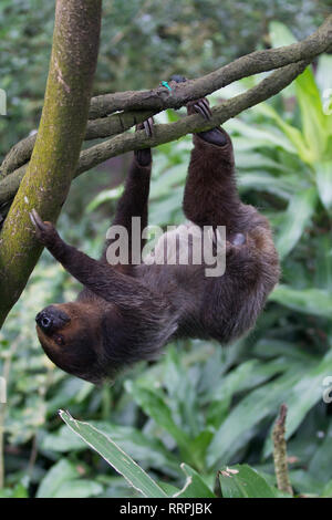 Closeup portrait of brown furry sloth with yellow eyes and a bright nose looking upside down. - Stock Photo
