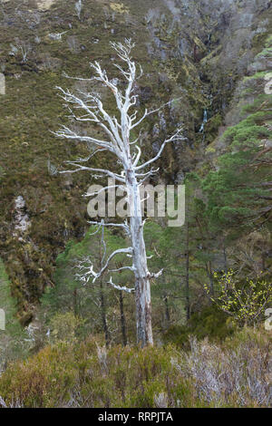 Dead Scots Pines - Pinus sylvestris - remnants of the ancient Caledonian pine forest - Beinn Eighe National Nature Reserve, Scottish Highlands, UK - Stock Photo