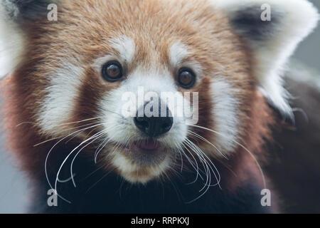 Portrait of red cute panda, Ailurus fulgens. - Stock Photo