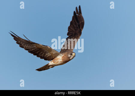 A red-tailed hawk soars in the blue Wyoming sky - Stock Photo
