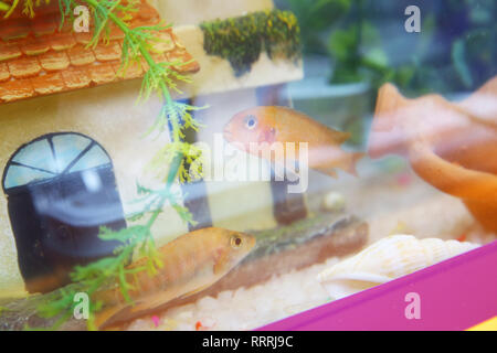 Orange fish in the aquarium . Goldfish, aquarium, a fish on the background of aquatic plants . Tropical colorful fishes swimming in aquarium with plan - Stock Photo