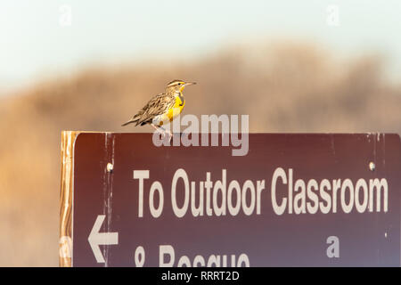 Western meadowlark (Sturnella neglecta) perches on sign at Valle del Oro national wildlife refuge in Albuquerque, New Mexico, USA - Stock Photo