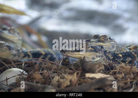Newborn alligator near the egg laying in the nest. - Stock Photo
