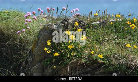 Wild flowers on cliff, Dodman, Cornwall, 250516 - Stock Photo